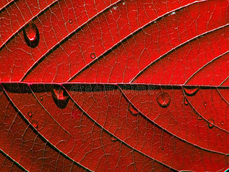 Roter Blattbaum stockfotografie