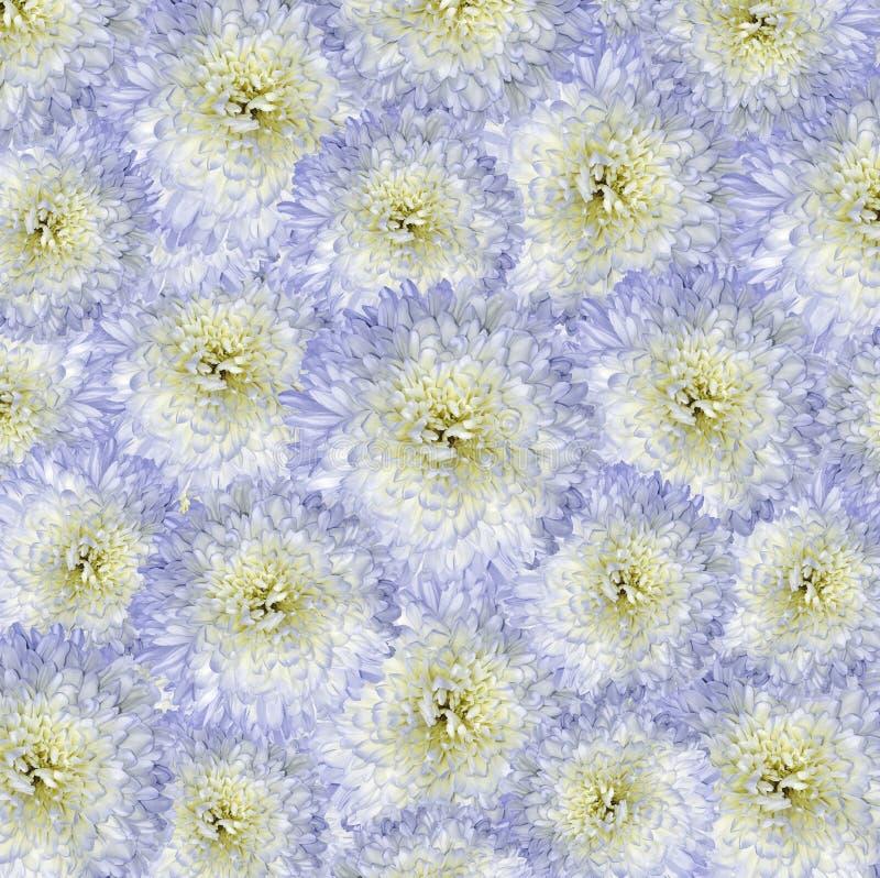 Roter blau-gelber Hintergrund Blumenstraußblumen von hellen weißen Chrysanthemen Nahaufnahme stockfotografie