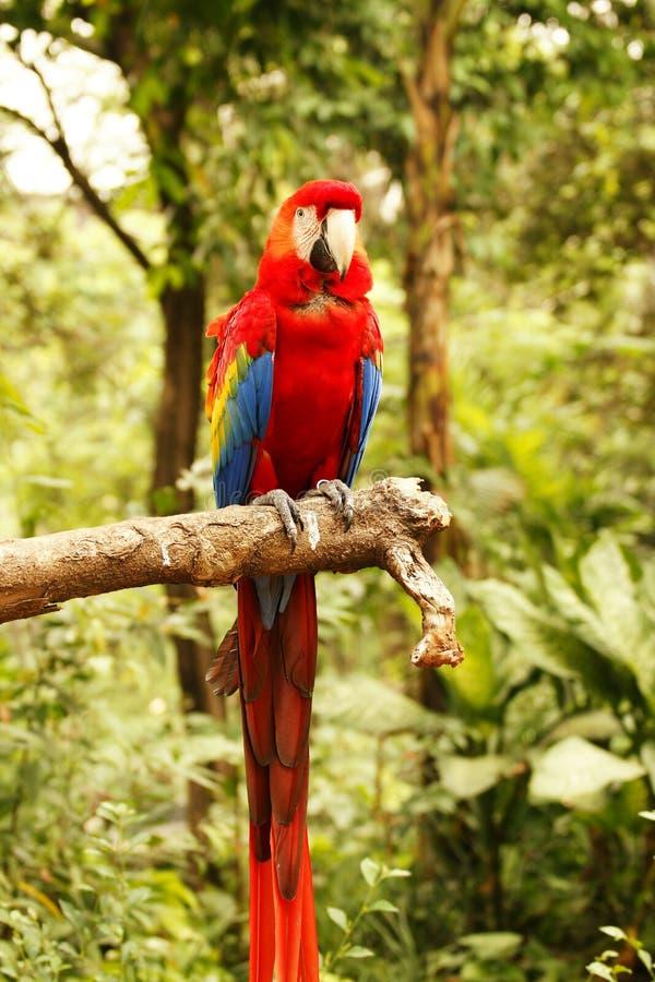 Roter blauer Papagei, der auf der hölzernen Niederlassung in camera betrachtet mich im Wald sitzt stockfoto