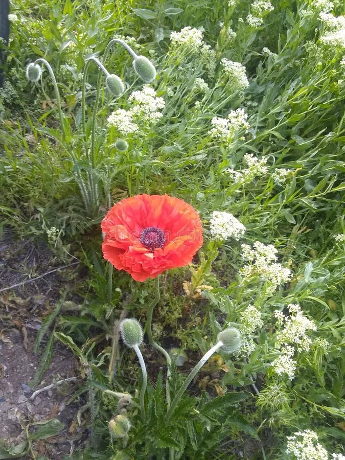 Roter Blumenabschluß der Mohnblume herauf Knospen stockfotografie