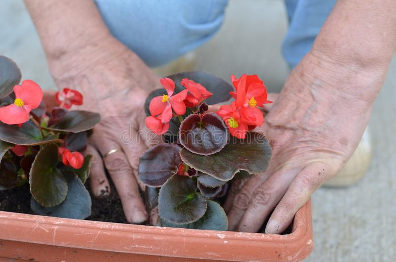 Roter Blumensämling des Potting lizenzfreie stockfotografie