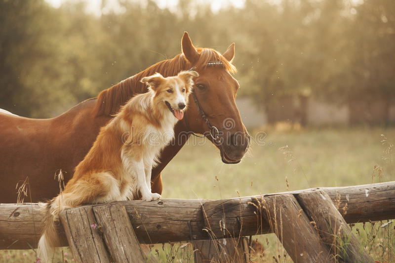 Roter border collie-Hund und -pferd stockfoto
