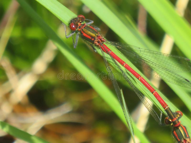 Roter Damselfly stockfoto