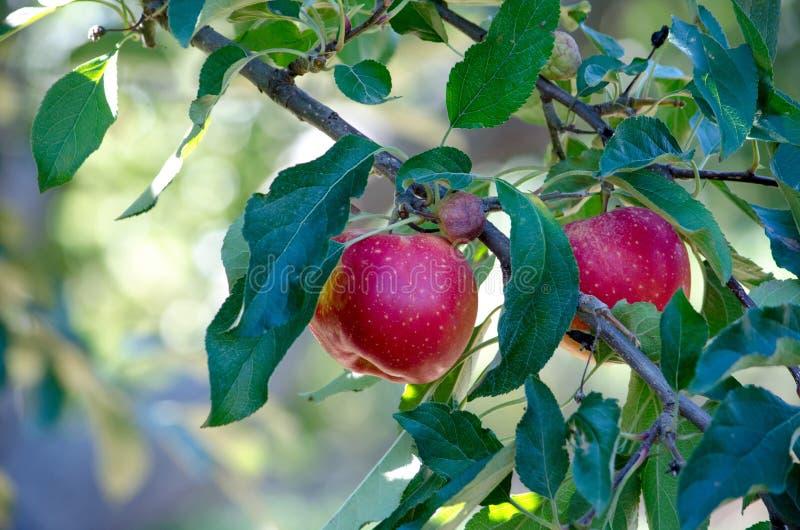 Roter-Delicious-Michigan-Äpfel stockbild