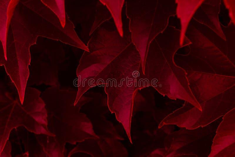 Roter Efeu verlässt nah oben lizenzfreie stockfotos