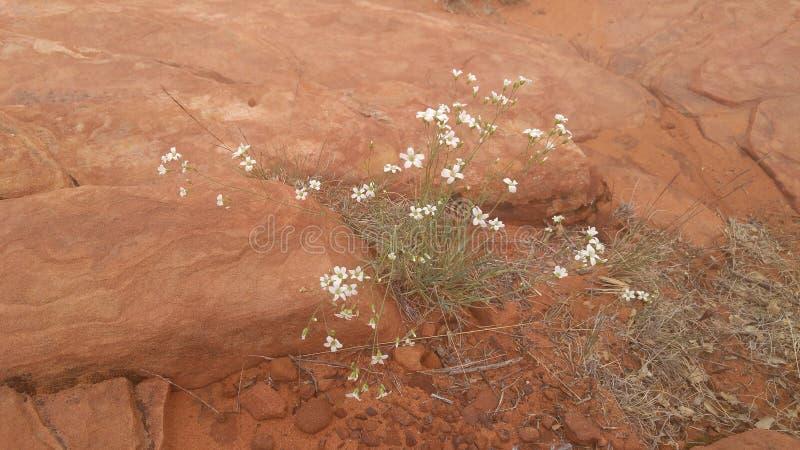 Roter Felsen mit Frühlingsblumen stockbild