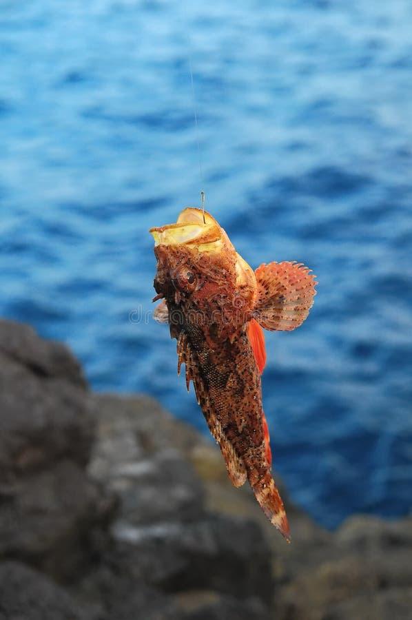Roter Felsen-Seefisch stockfoto