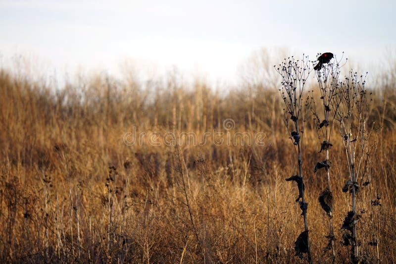 Roter Flügelschwarzvogel hockte auf einer hohen Graslandanlage stockfotos