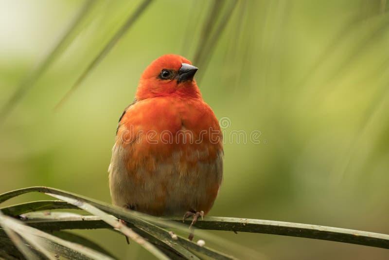Roter fody Vogel Madagaskars stockbilder
