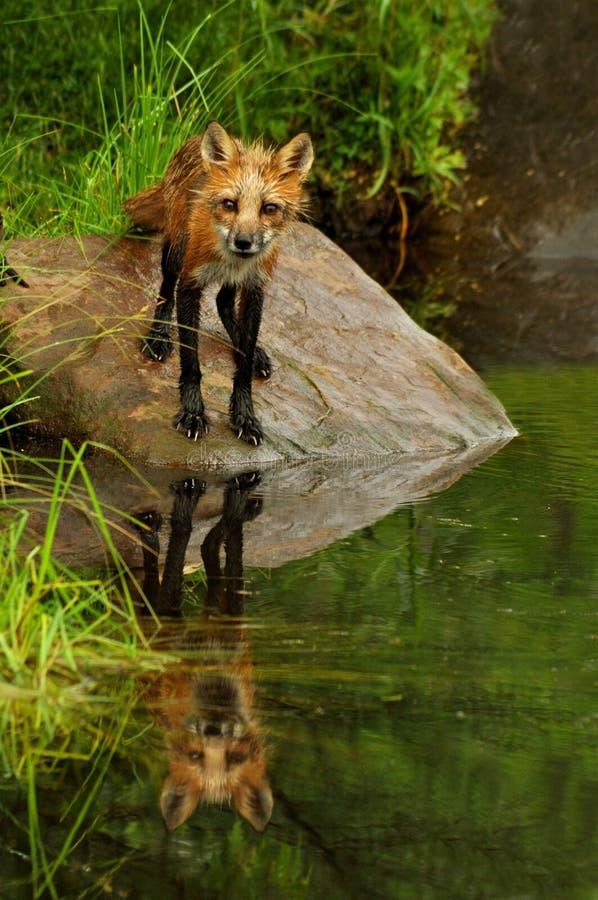 Roter Fox, der entlang der Kamera anstarrt stockfotos