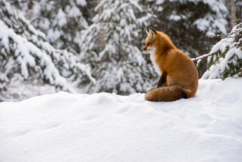 Roter Fox, der im Schnee sitzt stockfotos