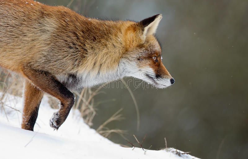 Roter Fox im Schnee stockfotos