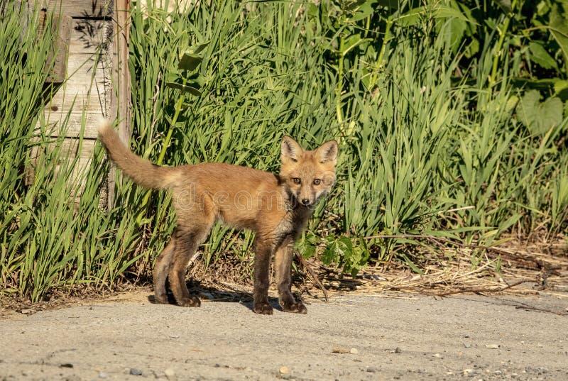 Roter Fox-Kind im Adirondacks lizenzfreies stockbild