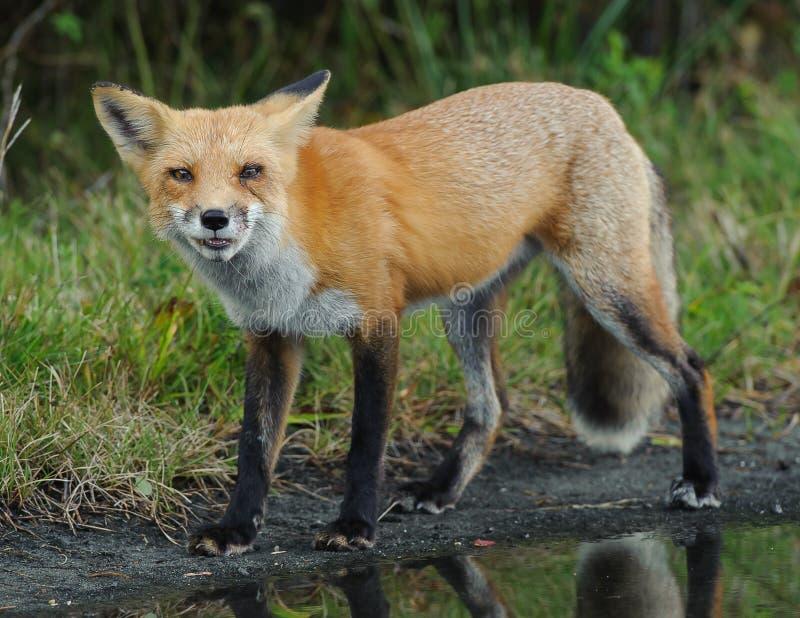 Roter Fox-Schauen