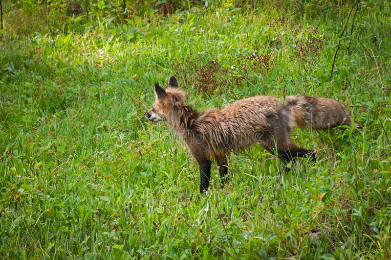 Roter Fox-Vixen u. x28; Vulpes vulpes& x29; Wege gelassen lizenzfreies stockfoto