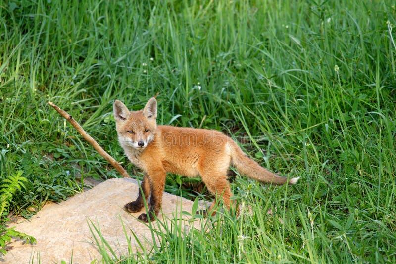 Roter Fox (Vulpes Vulpes) stockfotos