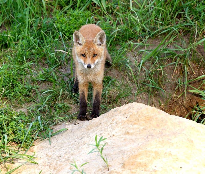 Roter Fox (Vulpes Vulpes) lizenzfreie stockfotos