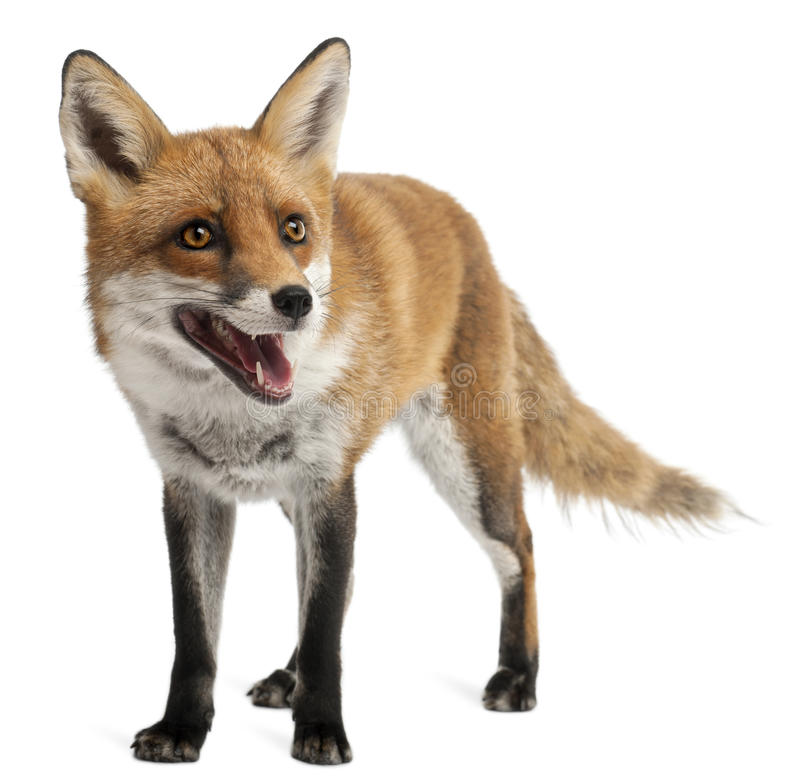 Roter Fox, Vulpes Vulpes, 4 Jahre alt stockfotografie