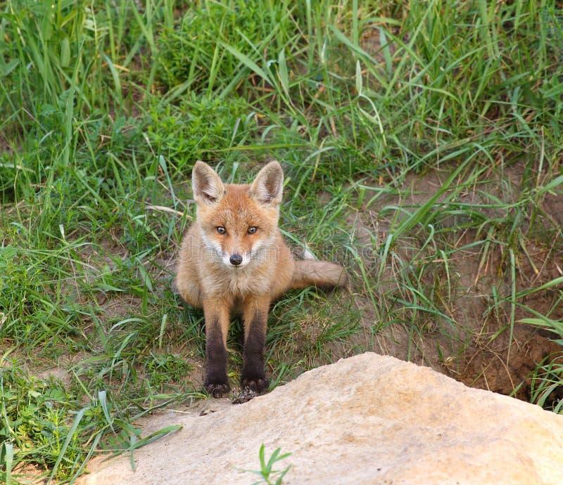 Roter Fox (Vulpes Vulpes) lizenzfreie stockbilder