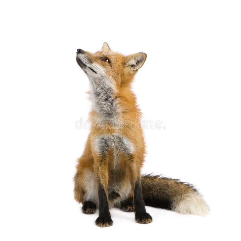 Roter Fuchs (4 Jahre) - Vulpes Vulpes stockbilder