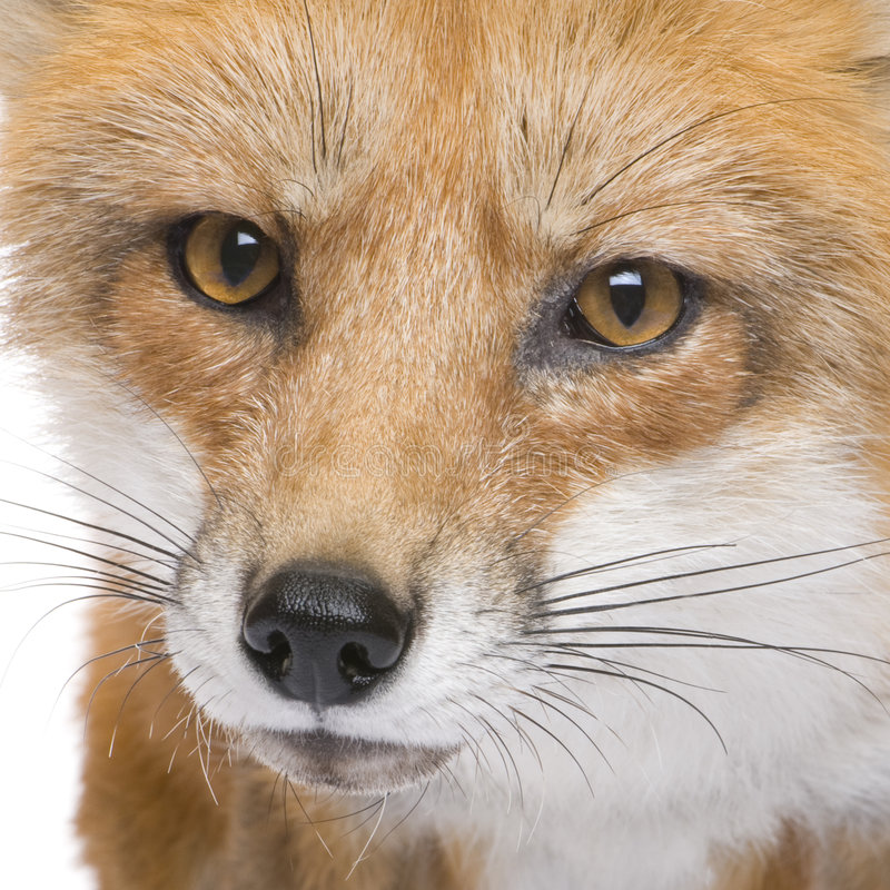 Roter Fuchs (4 Jahre) - Vulpes Vulpes stockfoto