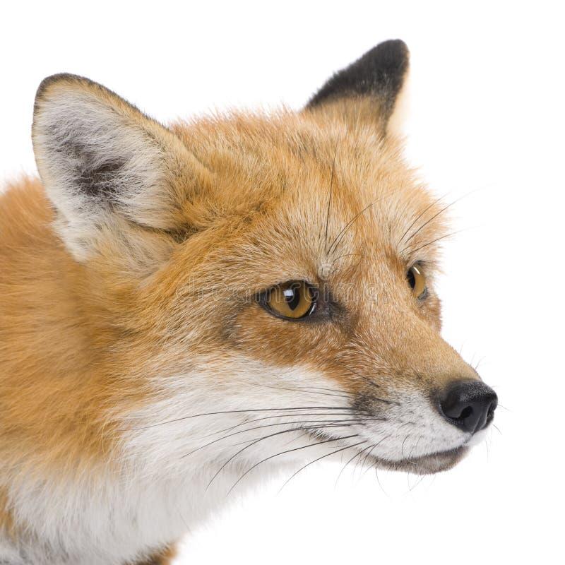 Roter Fuchs (4 Jahre) - Vulpes Vulpes lizenzfreie stockfotos