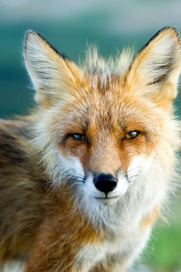 Roter Fuchs stockbild