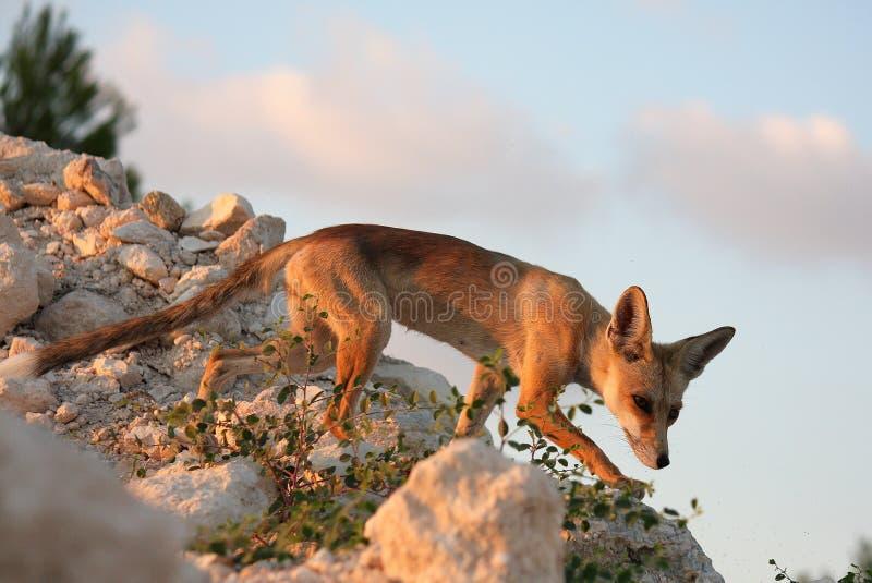 Roter Fuchs auf dem Hintergrund des blauen Himmels lizenzfreies stockfoto