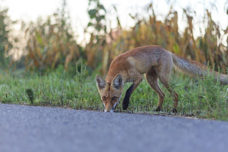 Roter Fuchs auf dem Straßenrand stockbild