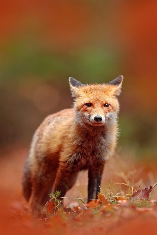 Roter Fuchs, der auf orange Herbstlaub läuft Netter roter Fox, Vulpes Vulpes im Fallwaldsch?nen Tier im Naturlebensraum lizenzfreies stockbild