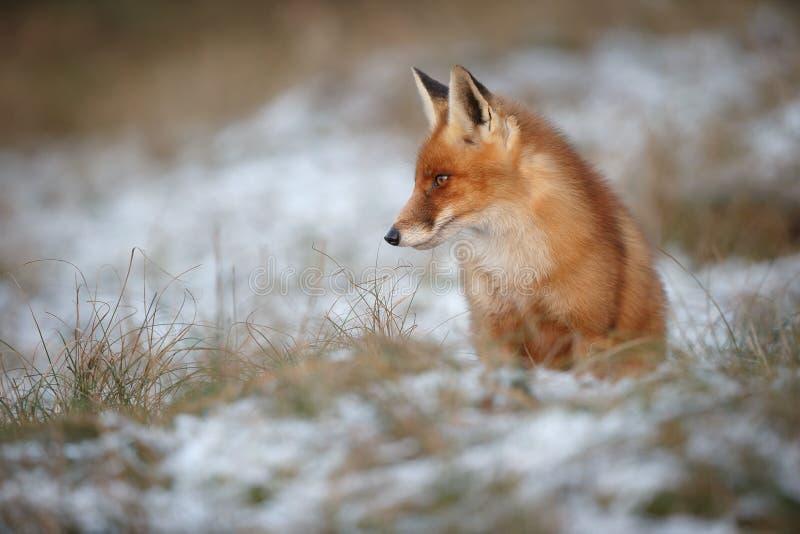 Roter Fuchs, der in wonter Schnee sitzt stockfoto
