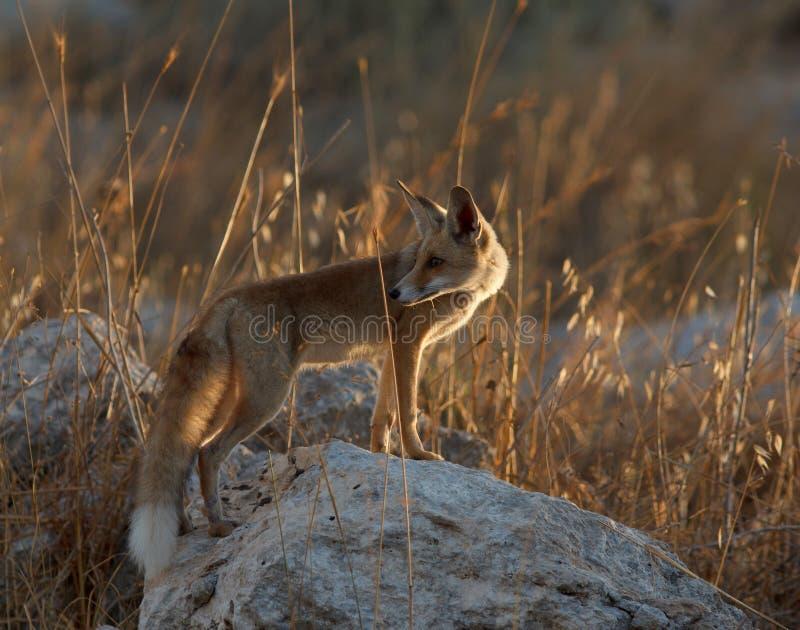 Roter Fuchs, der zurück über seiner Schulter schaut stockbild