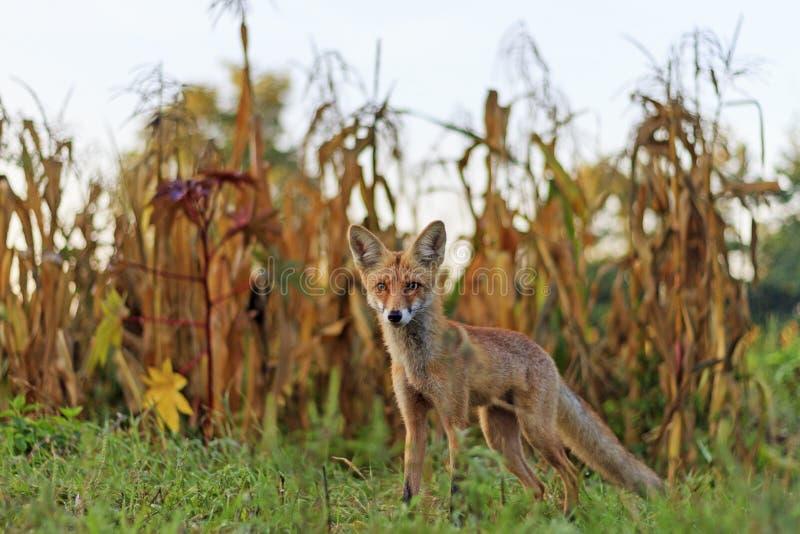Roter Fuchs im Garten lizenzfreie stockfotografie