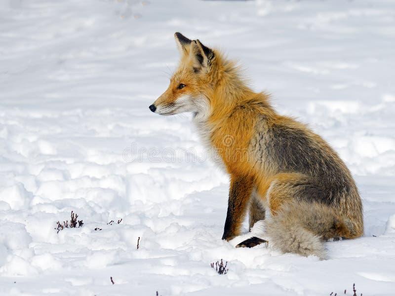 Roter Fuchs im Schnee stockbild