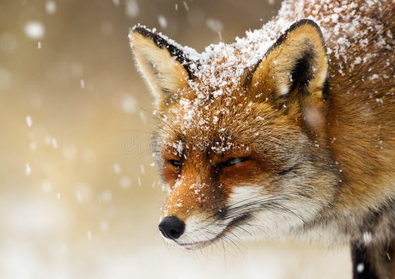 Roter Fuchs im Schneeportrait lizenzfreie stockfotografie