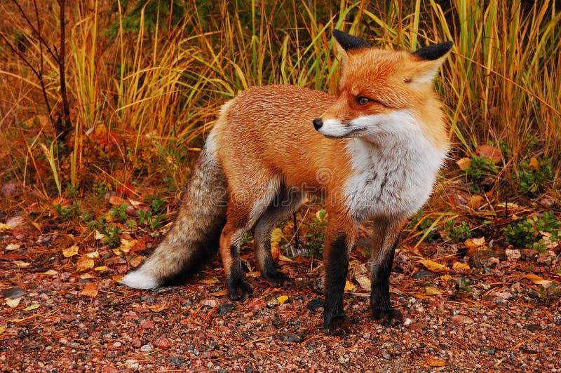 Roter Fuchs im Wald lizenzfreie stockbilder