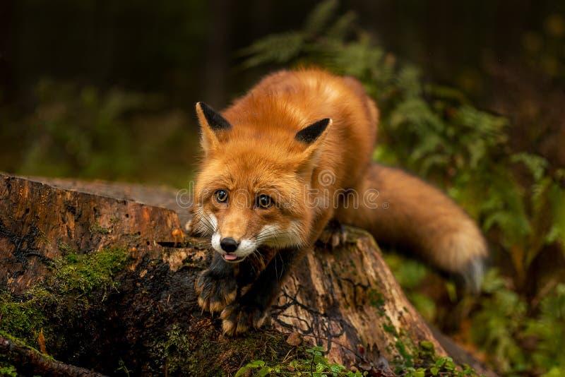 Roter Fuchs im Wald stockbilder