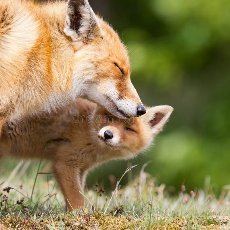 Roter Fuchs mit einem Jungen lizenzfreie stockbilder