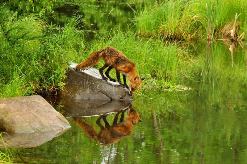 Roter Fuchs mit Wasserreflexion stockbilder