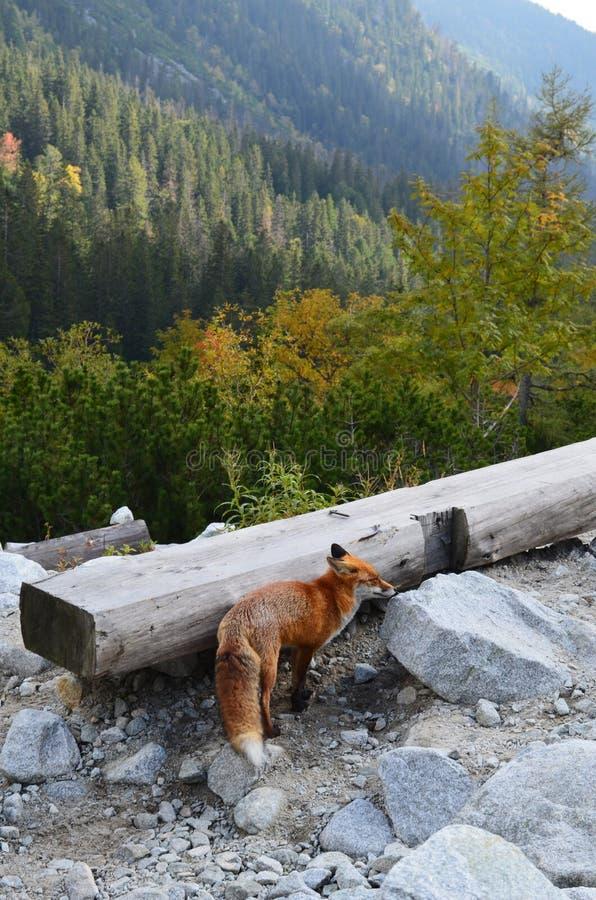 Roter Fuchs nicht ängstlich von den Leuten auf Wanderweg in hohem Tatras, Slowakei lizenzfreies stockfoto