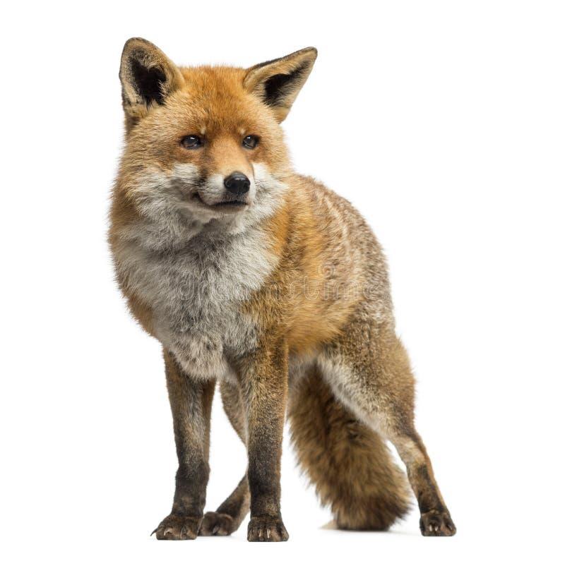 Roter Fuchs, Vulpes Vulpes, Stellung, lokalisiert stockfotografie