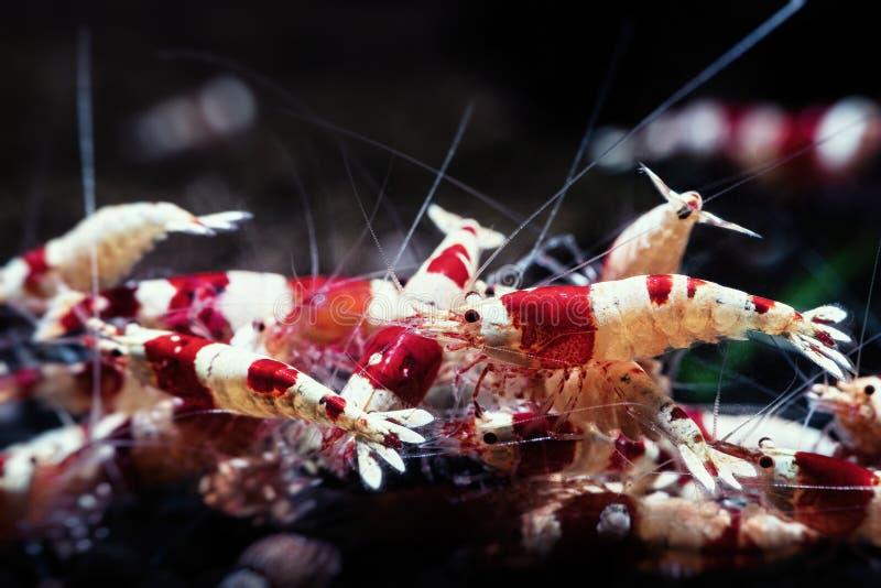 Roter Garnelenschwarm des Kristalles Aquariumhaustiere essen lizenzfreie stockbilder