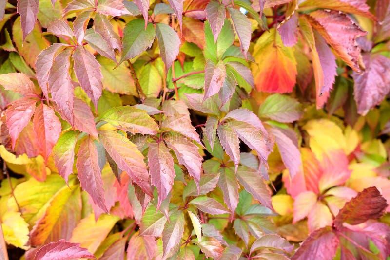 Roter, gelber, grüner und purpurroter Herbstefeu verlässt auf der Wand des Hauses oder des Zauns Viele Details lizenzfreie stockfotos
