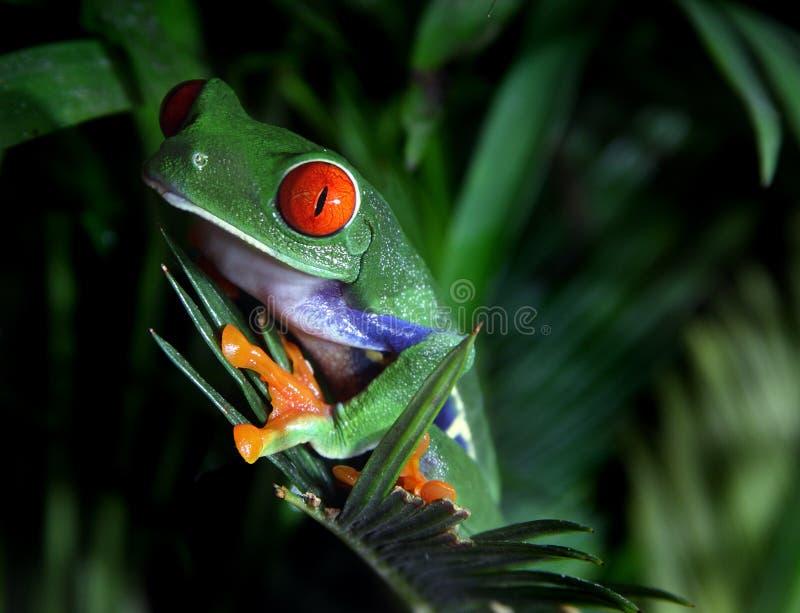 Roter gemusterter Baum-Frosch stockfotos
