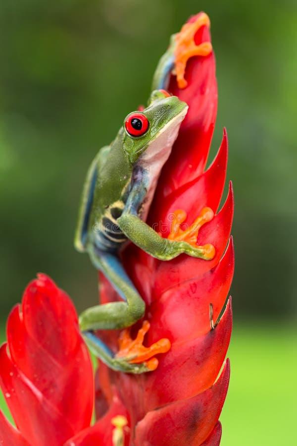 Roter gemusterter Baumfrosch, der auf Bromelieblume sitzt lizenzfreie stockbilder