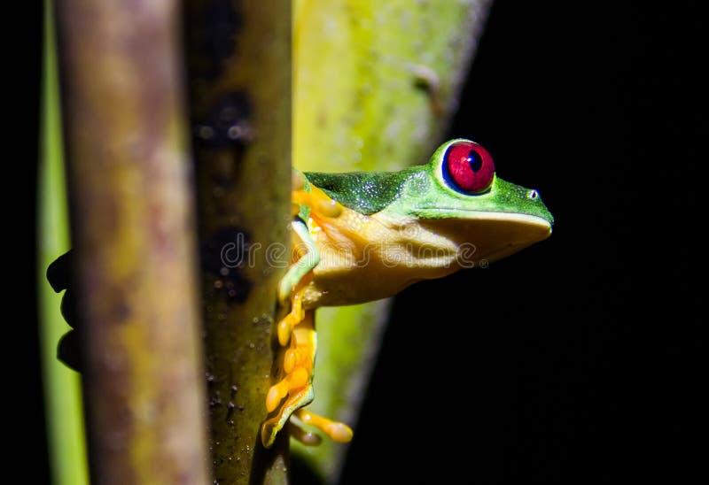 Roter gemusterter Frosch lizenzfreie stockbilder