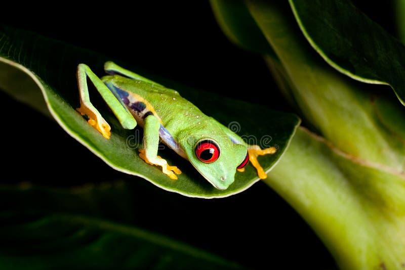 Roter gemusterter Frosch auf Bananenbaum lizenzfreies stockbild