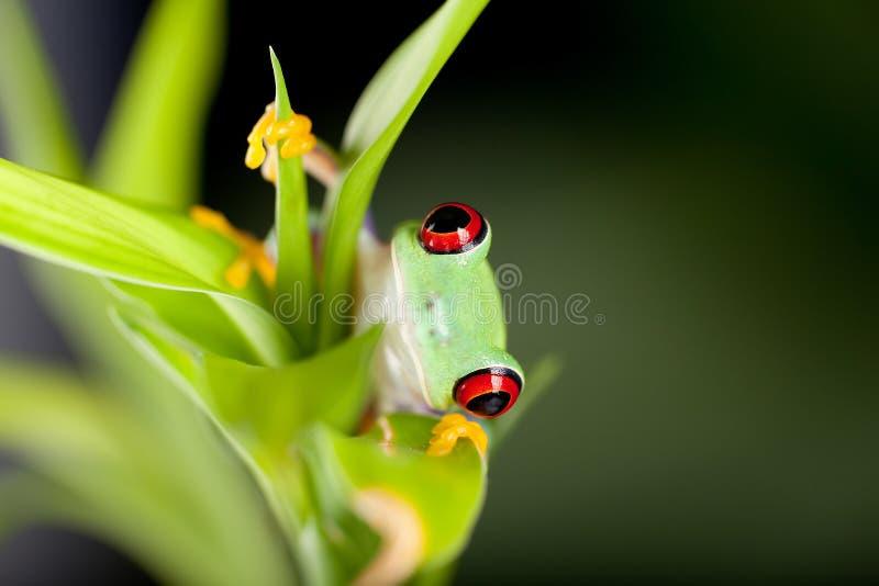 Roter gemusterter Frosch in der Natur lizenzfreie stockbilder