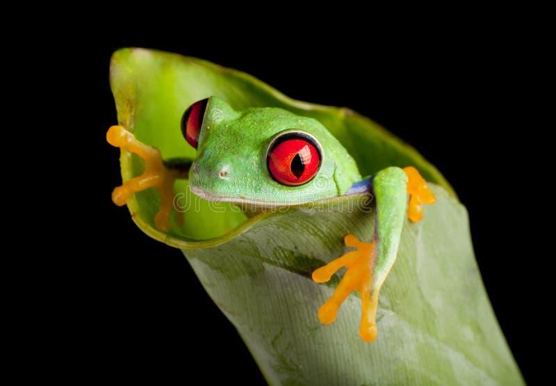 Roter gemusterter Frosch im Bananenblatt stockfotografie
