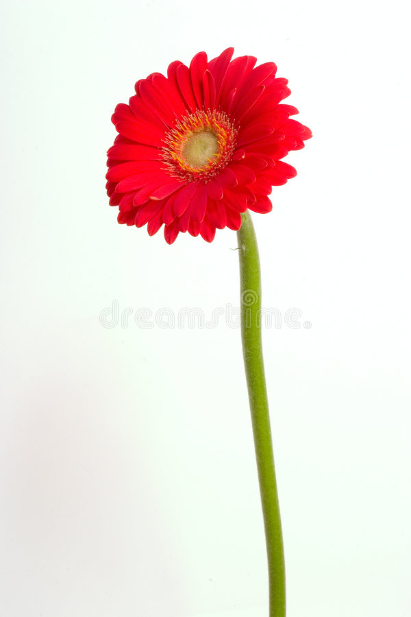 Roter Gerbera lizenzfreie stockfotografie